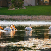 Pelicans in the neighborhood at Sunset