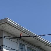 Cardinal enjoying the sun