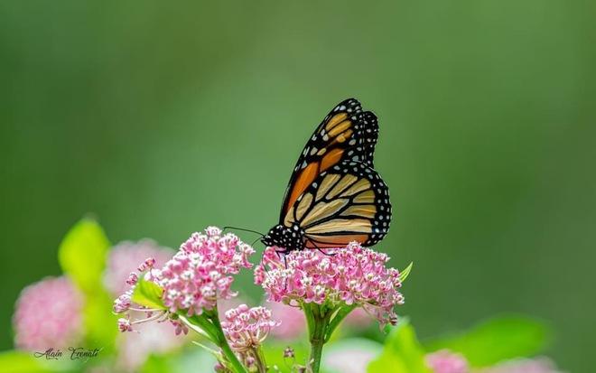 Monarch butterfly Windsor, ON