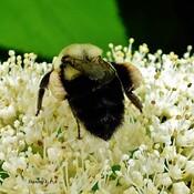 Plein les pattes de pollen .