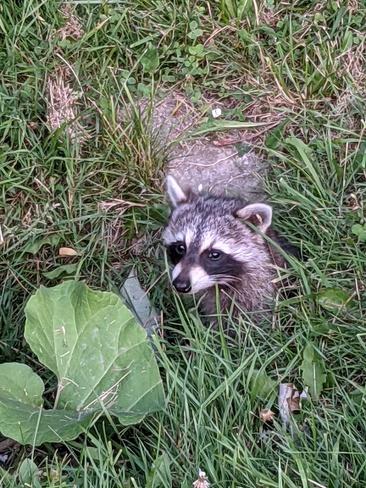 Racky the Raccoon London, ON
