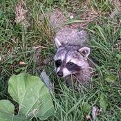 Racky the Raccoon