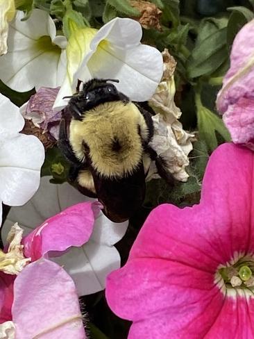 Bee on flowers Winnipeg, Manitoba, CA