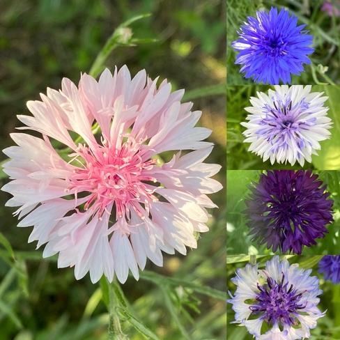 Cornflower Zoom call Camrose, Alberta, CA