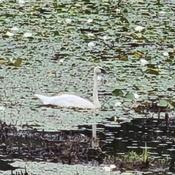 Trumpeter Swan?