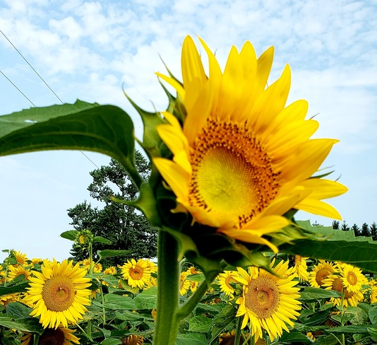 sunflower kind of day Chatham-Kent, ON