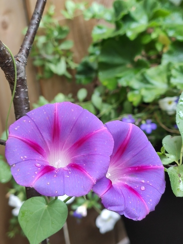 First two Morning Glories of the Summer! Mississauga, ON