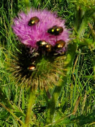 Japanese beetles Hammond, ON