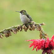 Hummingbird taking a break