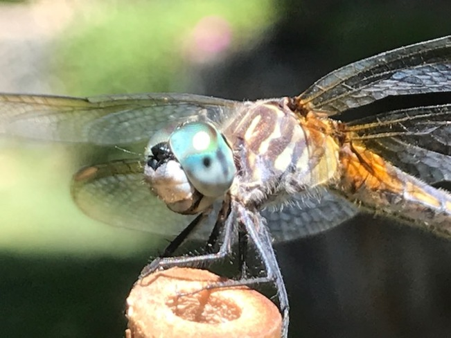 Dragonfly Florence Lake, Langford, BC