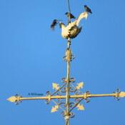 Oiseaux sur le clocher de l'église