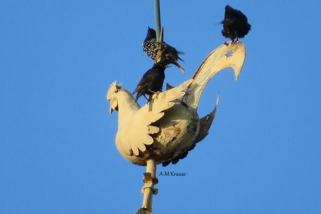 Oiseaux sur le clocher de l'église Saint-Pierre-de-la-Rivière-du-Sud, QC