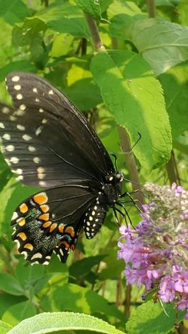beautiful butterfly London, ON