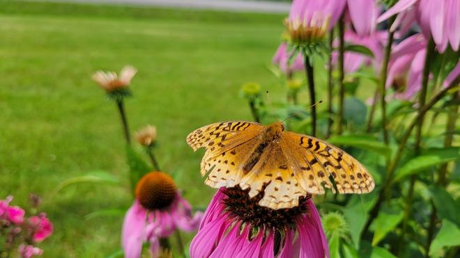 battered butterfly Morrisburg, ON
