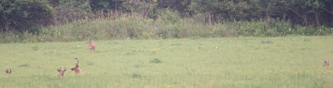 Big Whitetail Bucks grazing in the lush Alfalfa! West Whitby, Ont along Halls Rd.