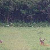 Big Whitetail Bucks grazing in the lush Alfalfa!