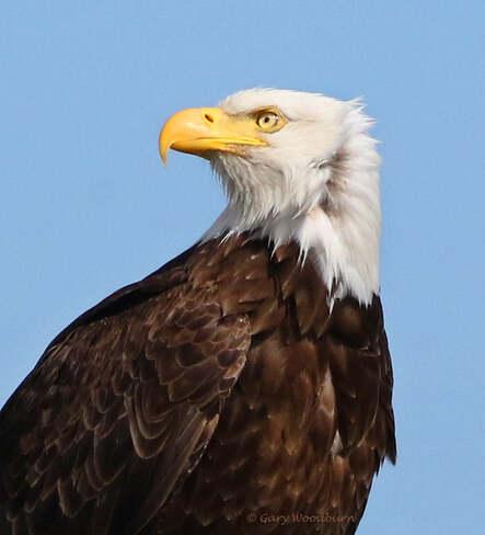 2021-07-24 - Bald Eagle, lands really close for his pic, at Esquimalt Lagoon Esquimalt Lagoon, Colwood, BC