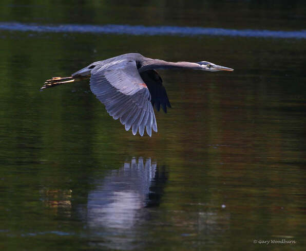2021-07-22 - Great Blue Heron, on a mission, at Esquimalt Lagoon Esquimalt Lagoon, Colwood, BC