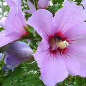 Hibiscus Minerva with Bee