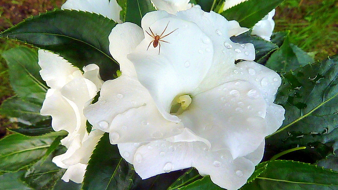 New Guinea Impatiens with Unexpected Visitor Toronto, ON