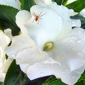 New Guinea Impatiens with Unexpected Visitor