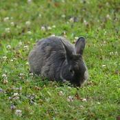 White Point bunny