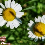 July 25 2021 Good morning! Happy Sunday:) Beautiful Chamomile in Thornhill