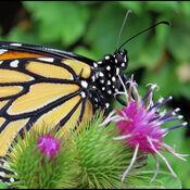 Papillon et bardane