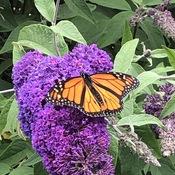 Simple pleasures; butterflies and flowers