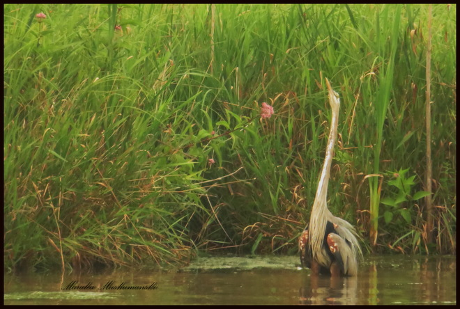 Bush Fires and the Great Blue Herons Lively, Greater Sudbury, ON