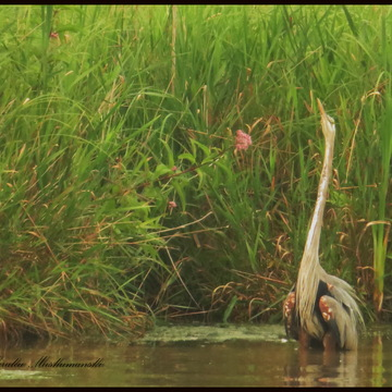 Bush Fires and the Great Blue Herons