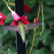 Petite femelle colibri