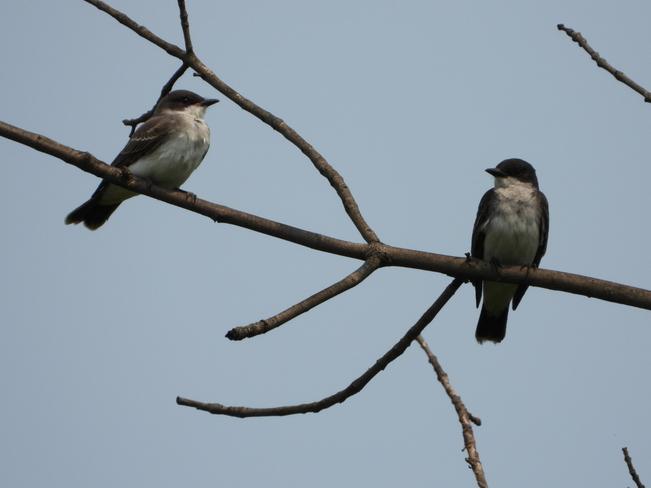 Pair of Kingbirds Kingston, Ontario, CA