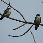 Pair of Kingbirds