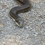 Big-black Snake