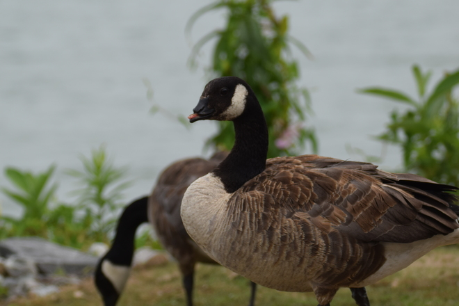 Canada Goose with disability St. Catharines, ON