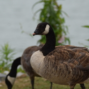 Canada Goose with disability