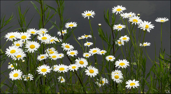 Daisies, Elliot Lake. Elliot Lake, ON