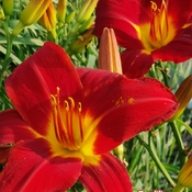 July 26 2021 30C Happy Monday :) Delightful Daylilies in Thornhill