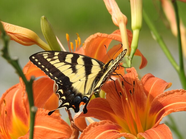 Yellow Swallowtail Butterfly having a feast on the Day Lillies McDonalds Corners, ON
