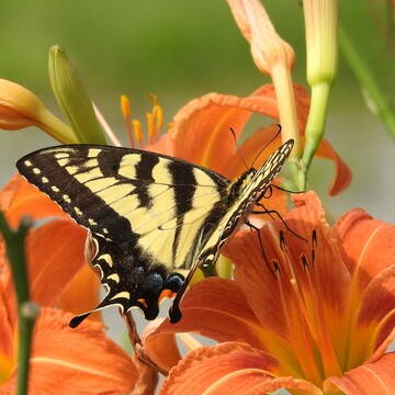 Yellow Swallowtail Butterfly having a feast on the Day Lillies