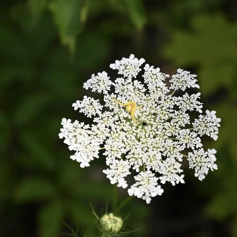Araignée qui se prend pour une fleur Gatineau