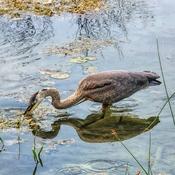 Heron Snacking