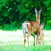 Deer parenting