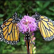 Meeting de trois papillons