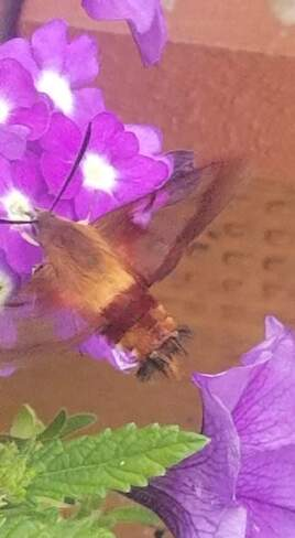 sphinx colibri Sainte-Sophie, QC