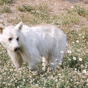 White grizzly bear