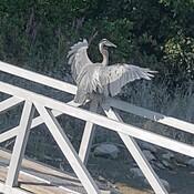 """Blue Heron- """"Slim"""""""
