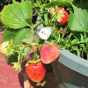 butterfly and strawberries