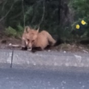 Fox by the bushes